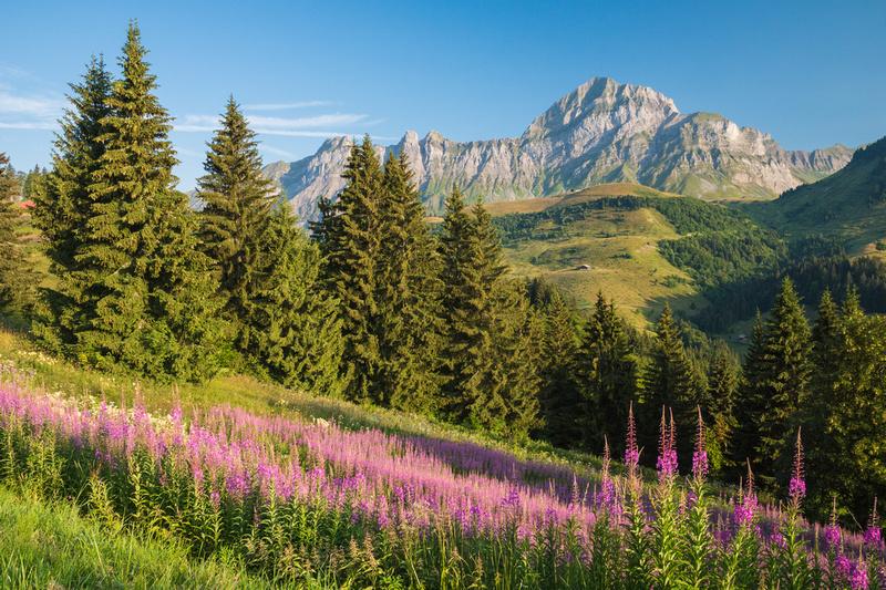 Fleurs des Alpes devant le Mont Charvin au printemps